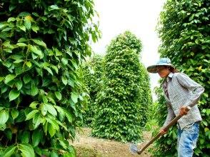 De Kampot peperplantage