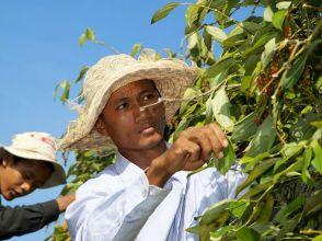 Kampot peper wordt geplukt