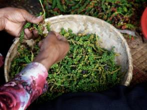 De peper wordt met de hand gesorteerd